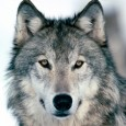 A fervent group of award-winning Native American recording artists from across the United States and around the world have mobilized to contribute songs to honor and defend wolves in the […]