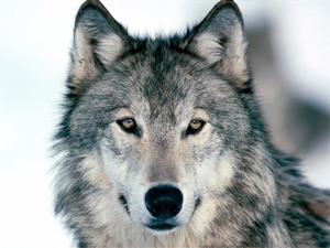 The endangered gray wolf